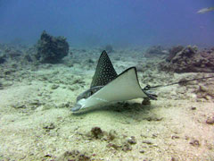Oahu boat diving eagle ray
