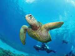 Hawaii scuba diving turtle