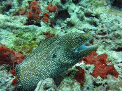 Oahu boat diving moray eel