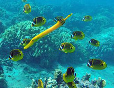 Hawaii yellow trumpet fish