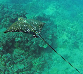 Hawaii eagle ray